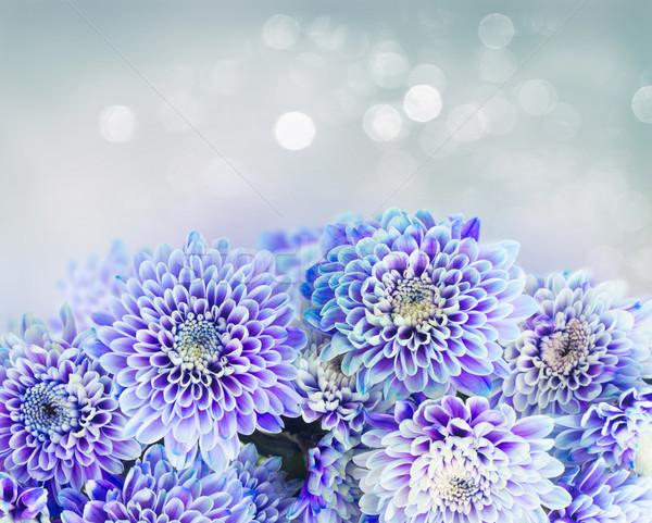 Azul crisantemo flores frescos frontera gris Foto stock © neirfy