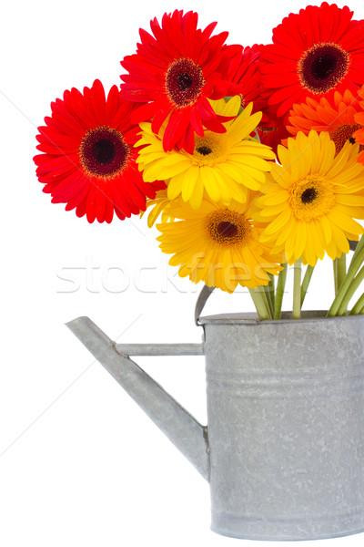 bouquet of gerbera flowers in watering can Stock photo © neirfy