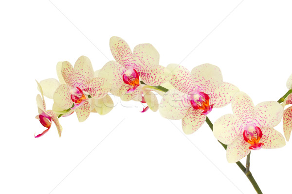 white with violet orchid flowers Stock photo © neirfy
