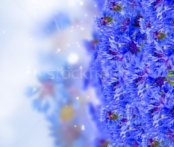 field of blue cornflowers Stock photo © neirfy
