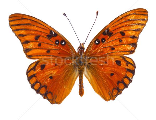 оранжевый страсти бабочка изолированный белый весны Сток-фото © neirfy