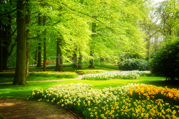 grass lawn with daffodils in spring garden Stock photo © neirfy