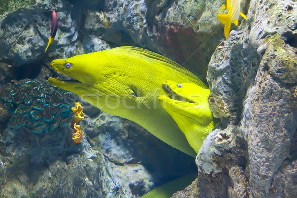yellow  moray fish in coral reef Stock photo © neirfy