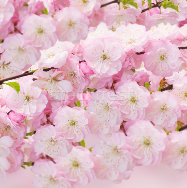 Blossoming pink tree Flowers Stock photo © neirfy