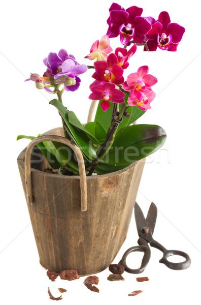 Foto stock: Fresco · rosa · orquídea · pote · cor · de · malva · azul