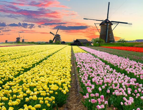 Photo stock: Moulin · à · vent · tulipes · domaine · coloré · jaune