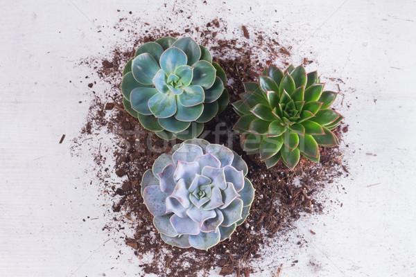 Nedvdús növekvő növények zöld föld fehér Stock fotó © neirfy
