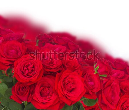 scarlet red roses Stock photo © neirfy
