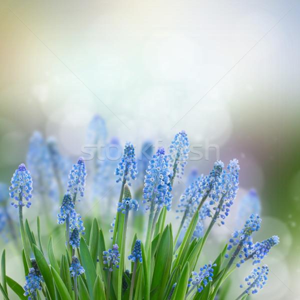 Virágok kék szürke bokeh húsvét virág Stock fotó © neirfy