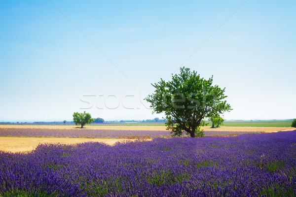 ラベンダー畑 ツリー 夏 青空 フランス レトロな ストックフォト © neirfy