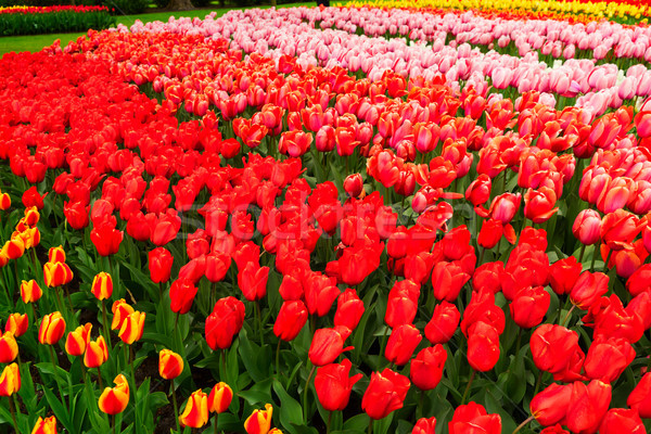 ストックフォト: チューリップ · 花 · カラフル · 成長 · ピンク