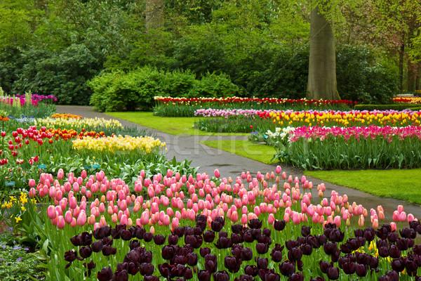 spring tulips Keukenhof Stock photo © neirfy