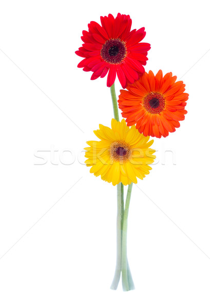 three gerbera flowers Stock photo © neirfy
