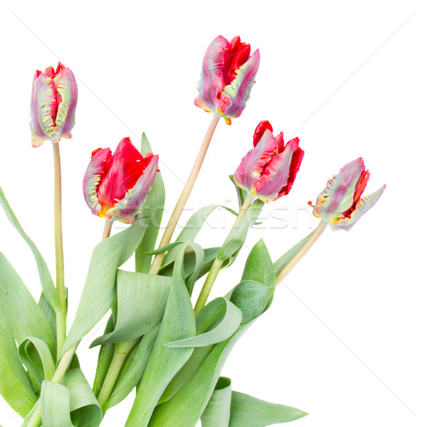 posy of red parrot tulips Stock photo © neirfy