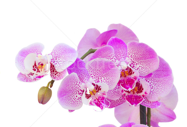 pink  orchid branch close up Stock photo © neirfy