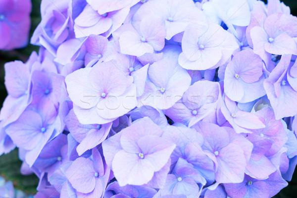 blue   hortensia flowers Stock photo © neirfy