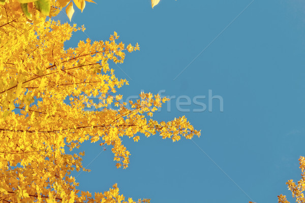 Trillend vallen loof Geel gouden boom Stockfoto © neirfy