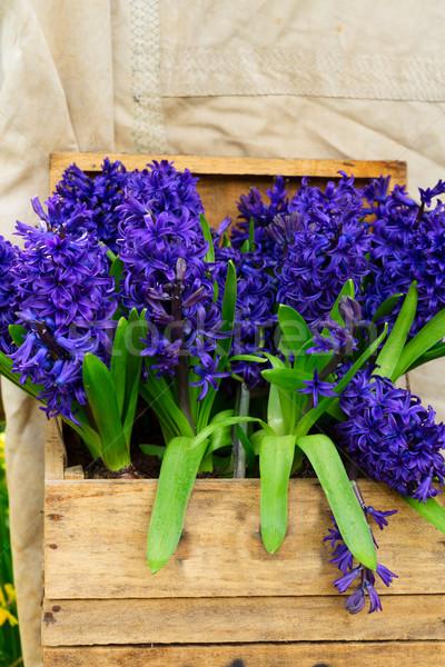 Foto stock: Azul · jacinto · flores · crescente · abrir
