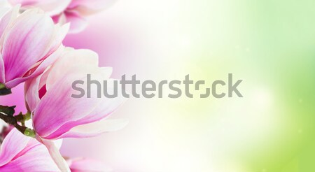 Blossoming pink magnolia Flowers Stock photo © neirfy