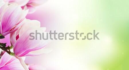 розовый магнолия цветы веточка Сток-фото © neirfy