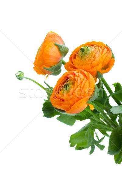 Három narancs virágok fehér háttér húsvét Stock fotó © neirfy