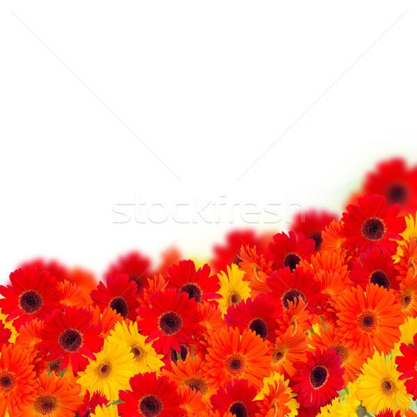 gerbera flowers border Stock photo © neirfy