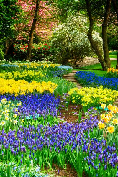 Azul flores Holanda jardín amarillo flores de primavera Foto stock © neirfy