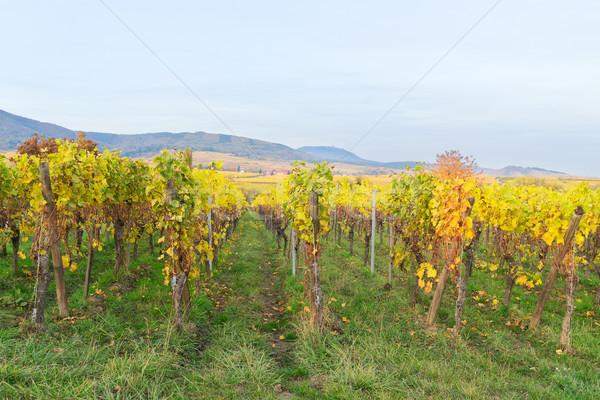 Vinho rota paisagem verde amarelo outono Foto stock © neirfy