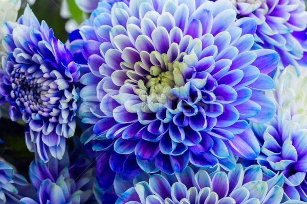 Niebieski chryzantema kwiaty świeże płatki makro Zdjęcia stock © neirfy