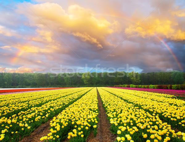 голландский желтый фиолетовый Tulip полях Сток-фото © neirfy