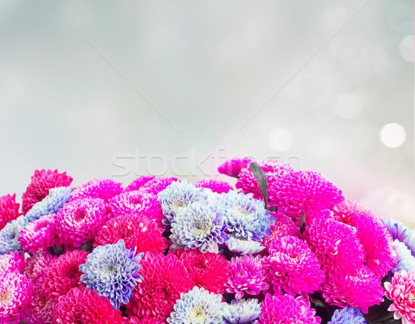 Kék krizantém virágok magenta rózsaszín keret Stock fotó © neirfy