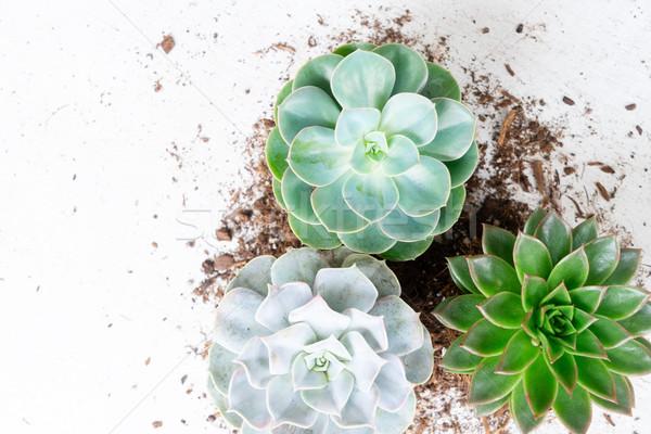 Etli büyüyen bitkiler taze yeşil beyaz Stok fotoğraf © neirfy