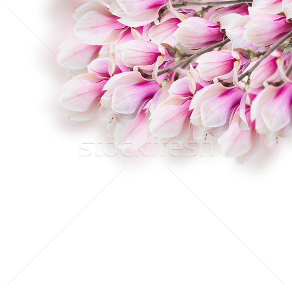 Floraison rose magnolia arbre fleurs Photo stock © neirfy