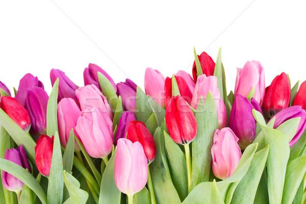 Ramo rojo púrpura tulipán flores frontera Foto stock © neirfy