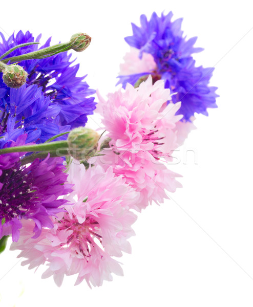 Niebieski biały różowy odizolowany lata kukurydza Zdjęcia stock © neirfy
