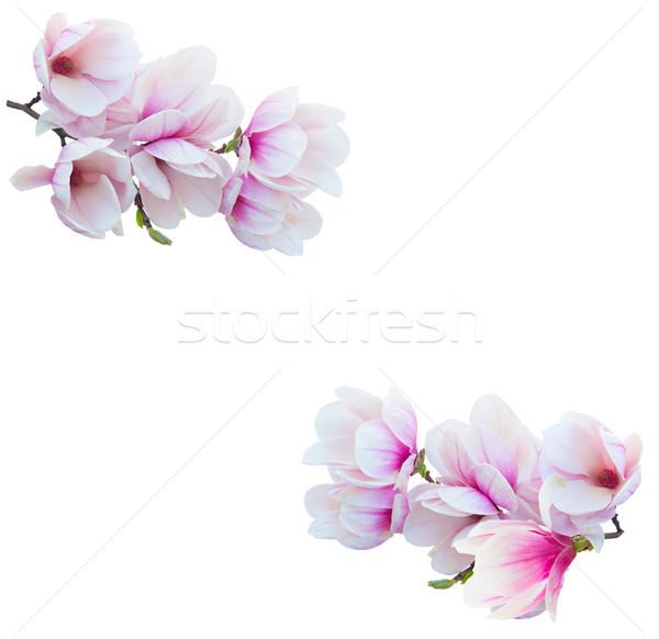 Manolya çiçekler beyaz şube çerçeve Stok fotoğraf © neirfy