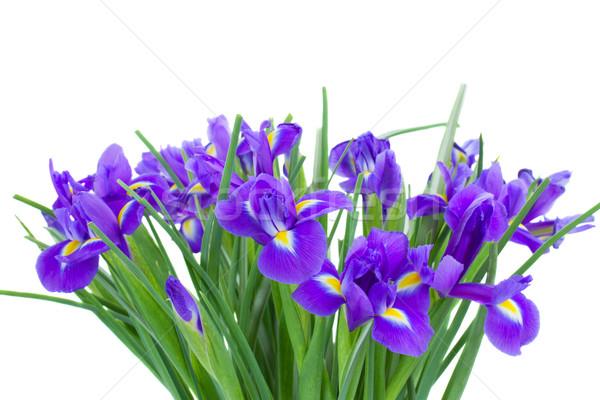 Foto d'archivio: Blu · fiori · isolato · bianco · fiore