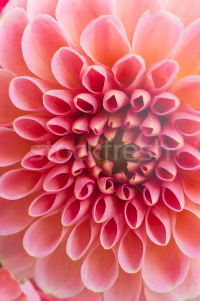 Dalya çiçek makro taze pembe çiçekler Stok fotoğraf © neirfy