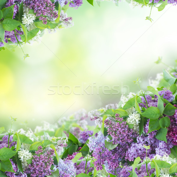Bush of Lilac Stock photo © neirfy