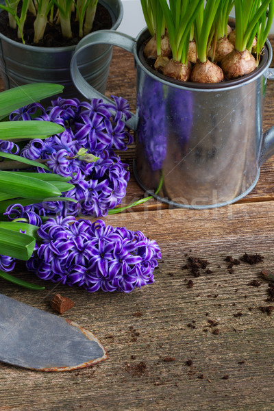 Foto stock: Jacinto · pá · flores · escuro · flor