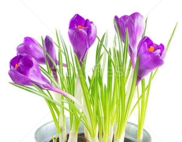 Viola crocus fiori fresche isolato bianco Foto d'archivio © neirfy