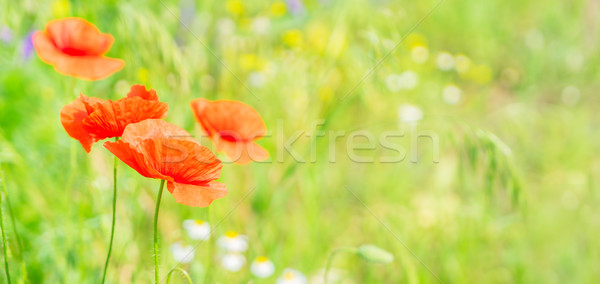 Summer poppy filed Stock photo © neirfy