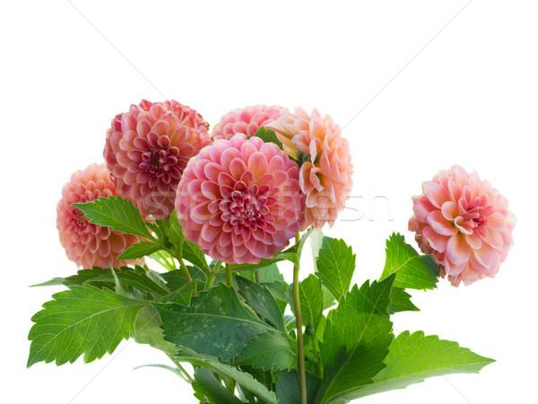 георгин цветы букет розовый изолированный белый Сток-фото © neirfy