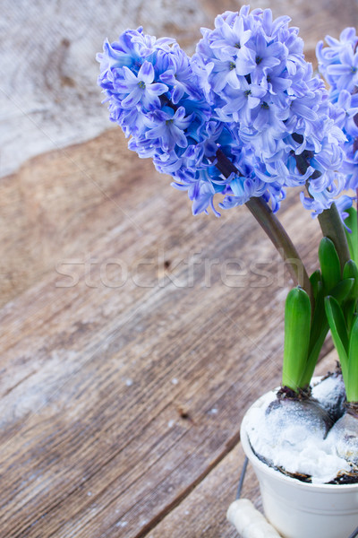 Hyacinths flowers Stock photo © neirfy