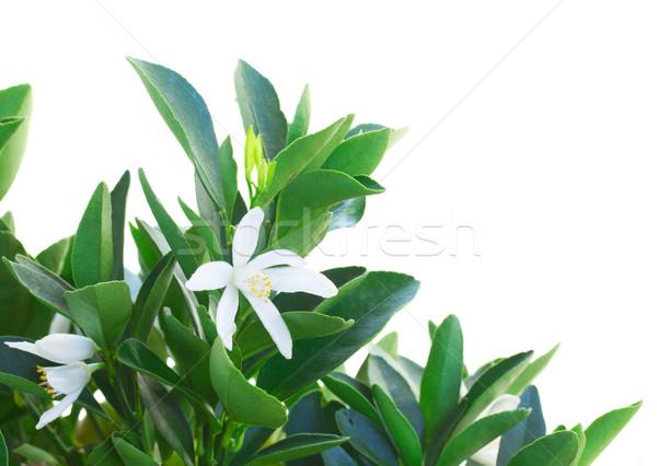 Mandarina árbol flores blanco frutas Foto stock © neirfy