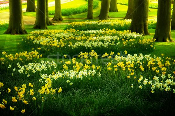 Gras gazon narcissen voorjaar tuin nederlands Stockfoto © neirfy