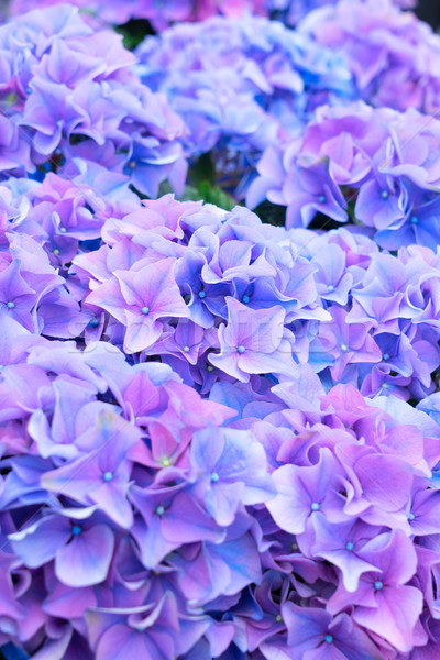 violet and blue   hortensia flowers Stock photo © neirfy