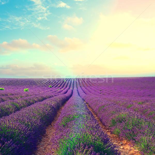 Stok fotoğraf: Lavanta · çiçekler · alan