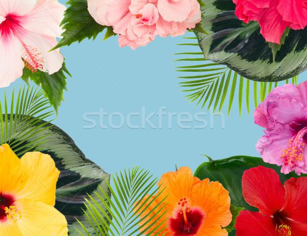 оранжевый гибискуса цветок тропические цветы листьев Сток-фото © neirfy