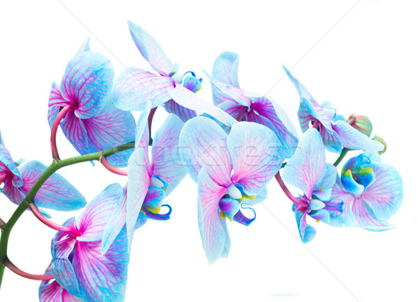 Stengel blau Orchideen violett frischen Orchidee Stock foto © neirfy